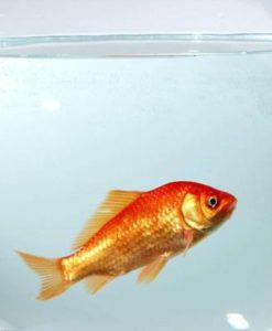 poisson-rouge-image-produit